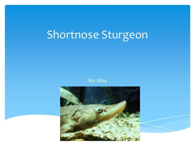 Shortnose Sturgeon       By: Max