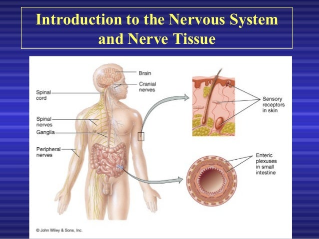 introduction to the nervous system The rat nervous system an introduction to preparatory techniques j p cassella institute of psychiatry, london, uk j hay tennant institute of ophthalmology, university of glasgow, uk and s j lawson imperial college school of medicine at st mary's, london, uk for over thirty years, rodents have been used in the study of many human and animal diseases.
