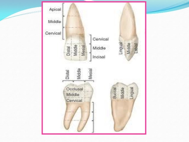 Anterior tooth anatomy 7889999 - follow4more.info