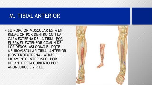 M.Biceps Femoral y M. tibial anterior