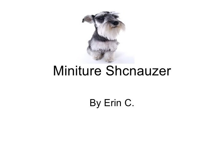 Miniture Shcnauzer By Erin C.