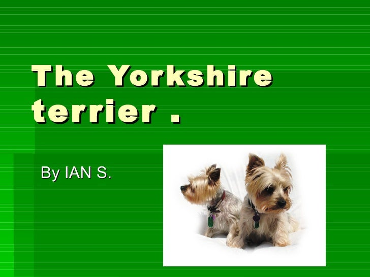 The Yorkshire  terrier . By IAN S.