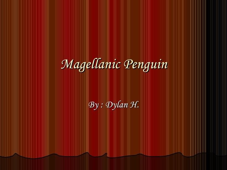 Magellanic Penguin By : Dylan H.