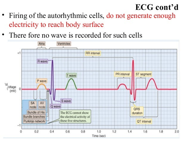 ECG cont'd • Firing of the autorhythmic cells, do not generate enough electricity to reach body surface • There fore no wa...