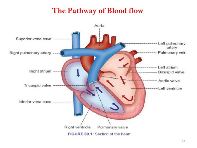 The Pathway of Blood flow 13