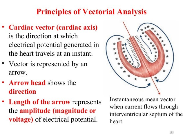 Principles of Vectorial Analysis • Cardiac vector (cardiac axis) is the direction at which electrical potential generated ...