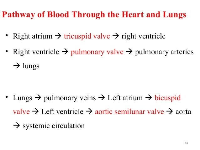 Pathway of Blood Through the Heart and Lungs • Right atrium  tricuspid valve  right ventricle • Right ventricle  pulmon...