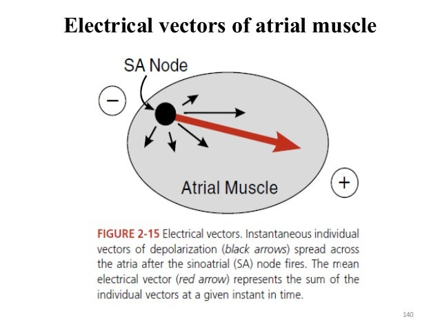 Electrical vectors of atrial muscle 140