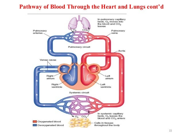 Pathway of Blood Through the Heart and Lungs cont'd 15