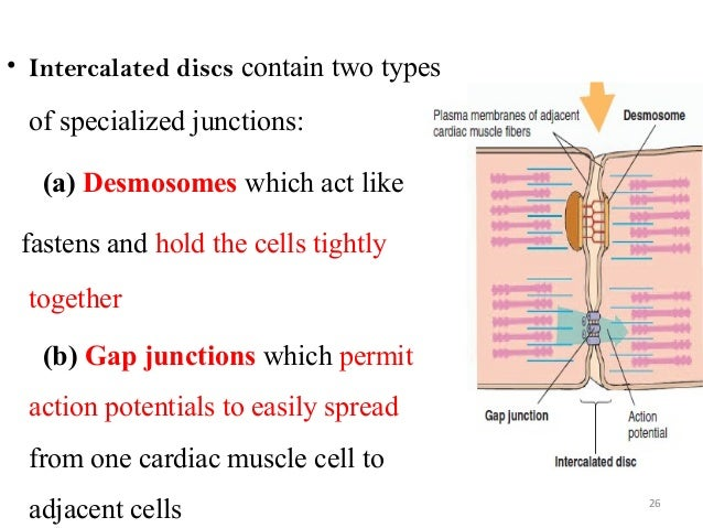 • Intercalated discs contain two types of specialized junctions: (a) Desmosomes which act like fastens and hold the cells ...