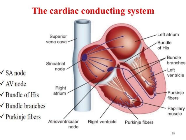 The cardiac conducting system 30