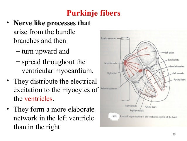 Purkinje fibers • Nerve like processes that arise from the bundle branches and then – turn upward and – spread throughout ...