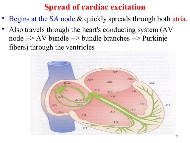 Spread of cardiac excitation • Begins at the SA node & quickly spreads through both atria. • Also travels through the hear...