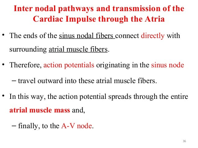 Inter nodal pathways and transmission of the Cardiac Impulse through the Atria • The ends of the sinus nodal fibers connec...