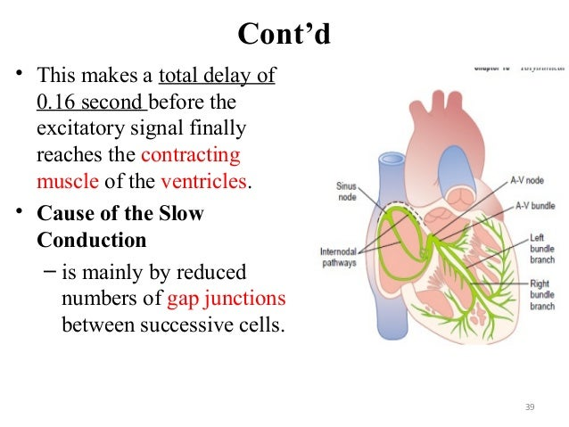 Cont'd • This makes a total delay of 0.16 second before the excitatory signal finally reaches the contracting muscle of th...