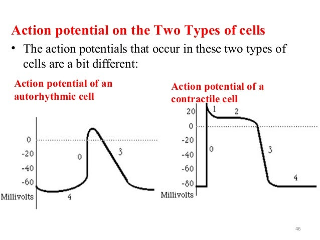 Action potential on the Two Types of cells • The action potentials that occur in these two types of cells are a bit differ...