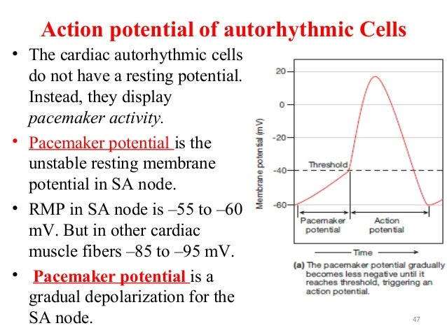 Action potential of autorhythmic Cells • The cardiac autorhythmic cells do not have a resting potential. Instead, they dis...