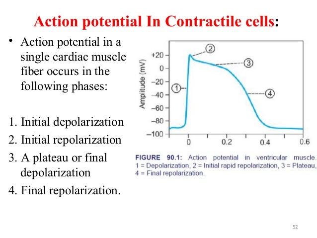Action potential In Contractile cells: • Action potential in a single cardiac muscle fiber occurs in the following phases:...