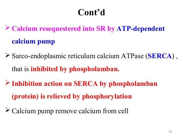 Cont'd  Calcium resequestered into SR by ATP-dependent calcium pump  Sarco-endoplasmic reticulum calcium ATPase (SERCA) ...
