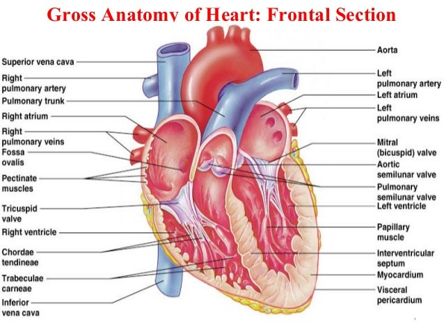 Gross Anatomy of Heart: Frontal Section 7