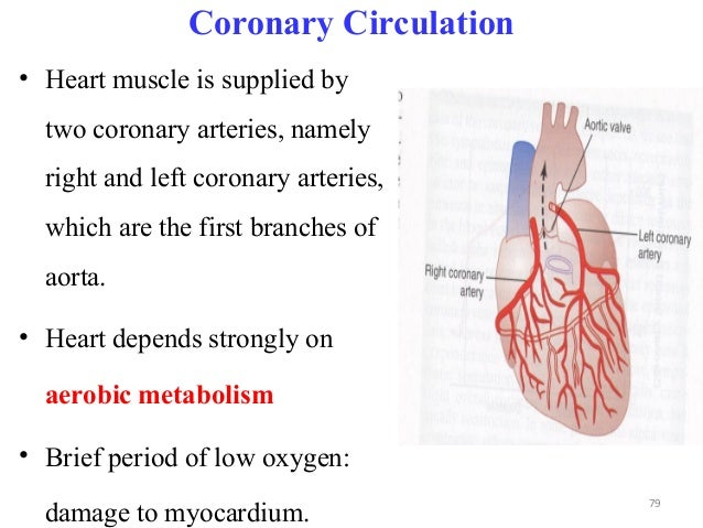 Coronary Circulation • Heart muscle is supplied by two coronary arteries, namely right and left coronary arteries, which a...