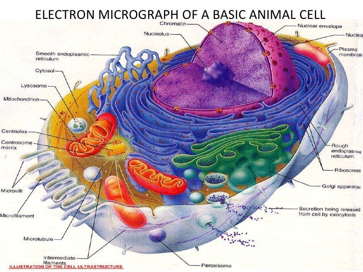 Real Animal Cells Under A Microscope Labeled