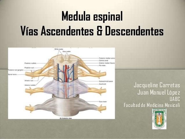 Medula espinal Vías Ascendentes & Descendentes Jacqueline Carretas Juan Manuel López UABC Facultad de Medicina Mexicali