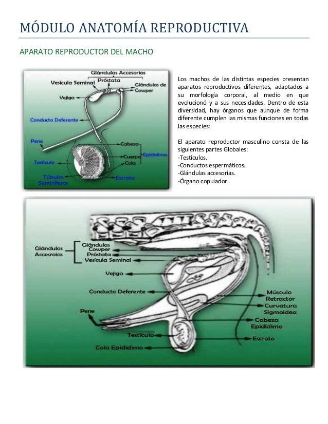 Módulo Anatomía Reproductiva