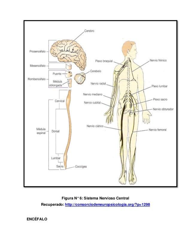 Fantástico Cuerpo Humano Diagrama Del Sistema Nervioso Festooning ...