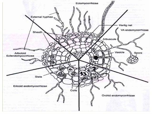endomycorrhizal slide - photo #11