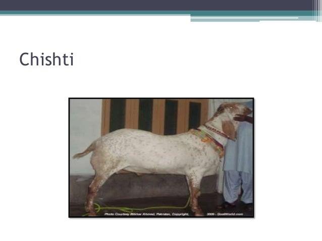 Pateri goat