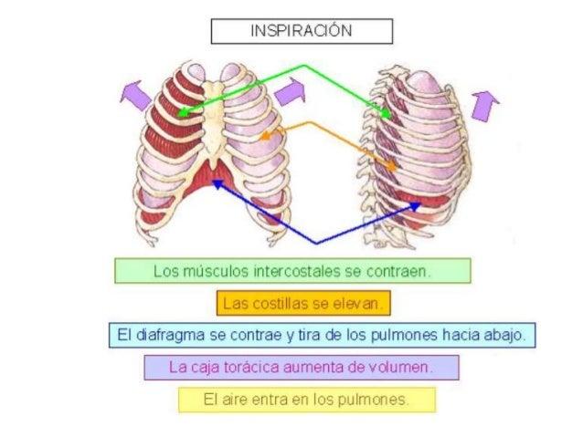 Mecanismo de la respiración