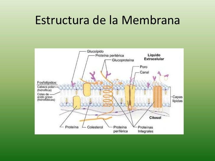 Mecanismo De Transporte De Membrana