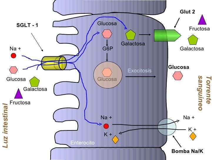 Na + Glucosa Luz intestinal SGLT - 1 Glucosa Na + G6P Glucosa Exocitosis Glucosa Enterocito Torrente sanguíneo Galactosa G...