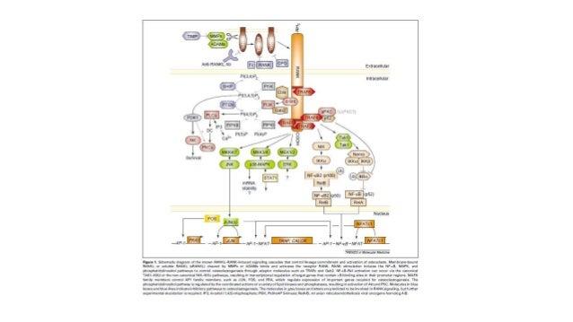 Mecanismos de señalización en osteoclastogenesis y enfermedad òsea