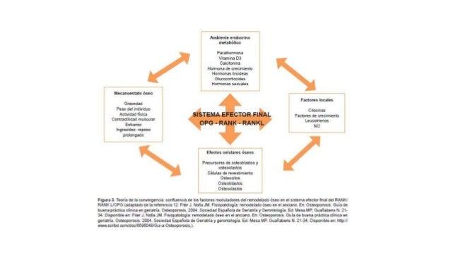 RANK -RANKL • Expresado en la superficie de osteoblastos y células epiteliales de glándulas mamarias y en células T activa...