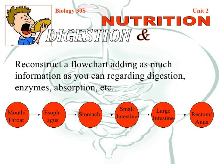 Biology 30S   Unit 2 DIGESTION  & NUTRITION Reconstruct a flowchart adding as much information as you can regarding digest...