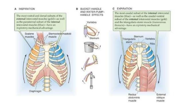 mechanism of breathing diagram