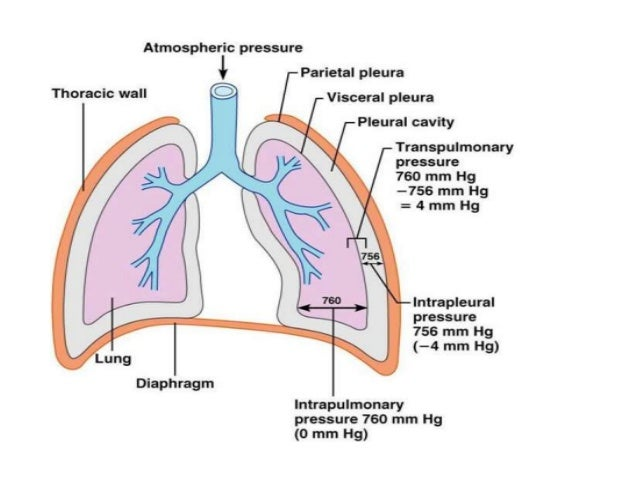 explain the mechanism of breathing class 10