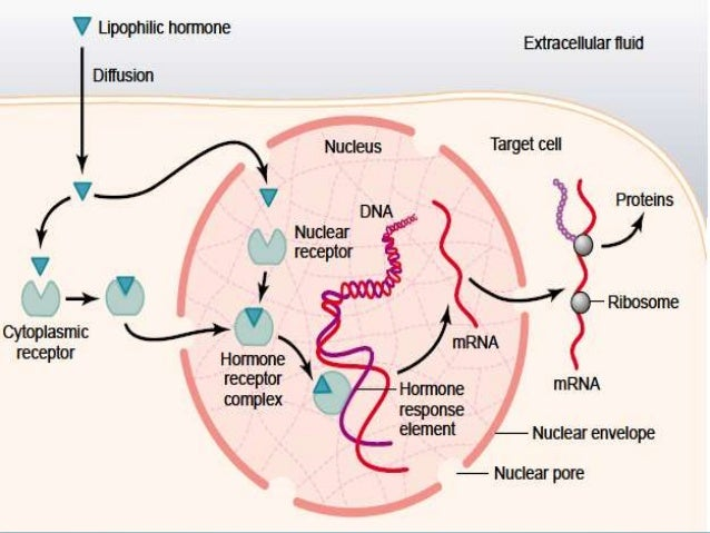 mechanism of steroid hormones ppt