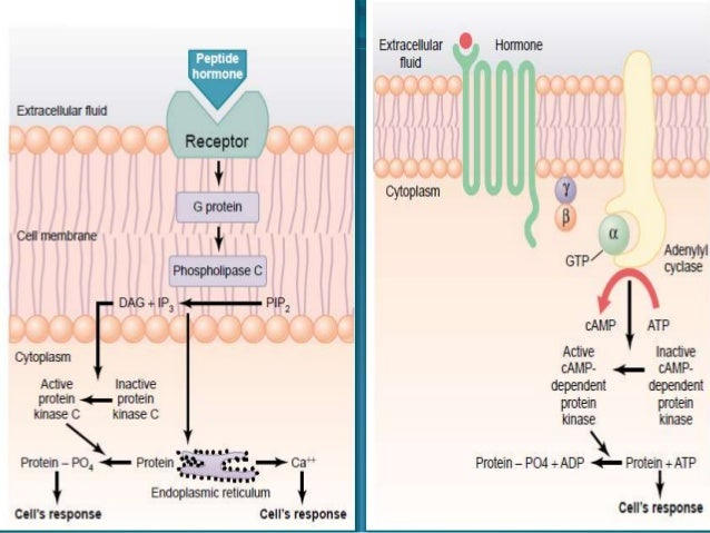 mechanism of hormone action pdf