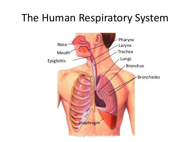 diaphragm-breathing-diagram
