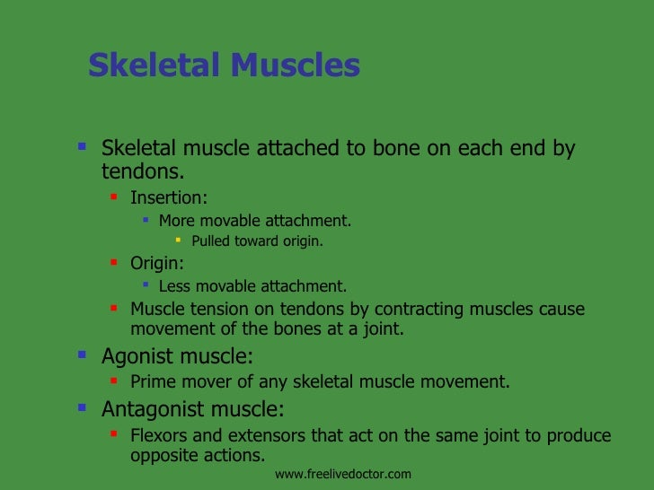 Skeletal Muscles  <ul><li>Skeletal muscle attached to bone on each end by tendons. </li></ul><ul><ul><li>Insertion: </li><...