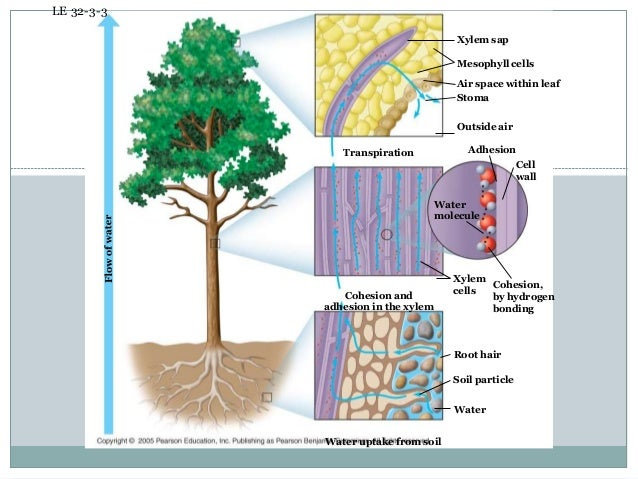 absorption of water in plants