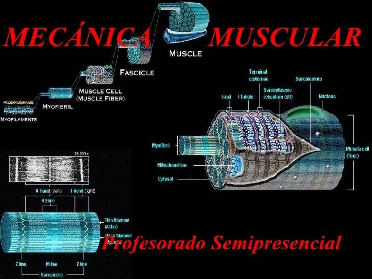 MECÁNICA  MUSCULAR Profesorado Semipresencial