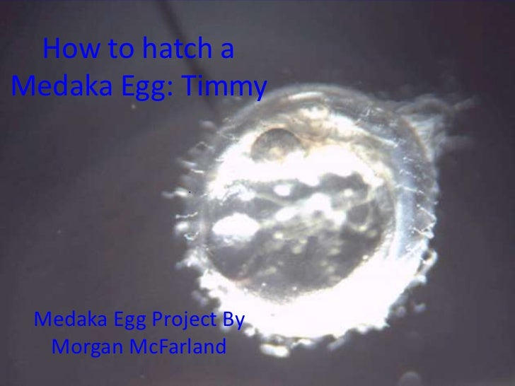 How to hatch a Medaka Egg: Timmy<br />Medaka Egg Project By Morgan McFarland<br />