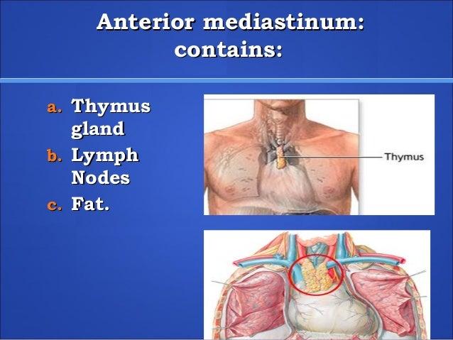 anterior mediastinum anatomy - photo #17