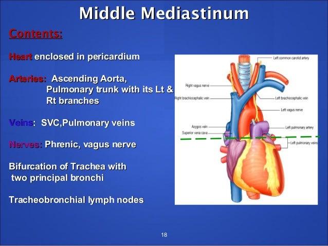 Anterior mediastinum boundaries in dating 10