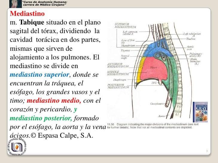 Resultado de imagen para mediastino anterior medio y posterior