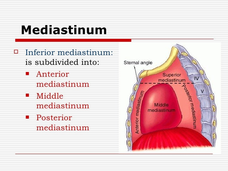Image result for Mediastinum
